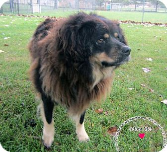 Chow Chow/Shepherd (Unknown Type) Mix Dog for adoption in Sidney, Ohio - Ponch