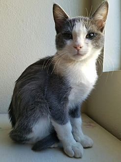 Domestic Shorthair Kitten for adoption in San Dimas, California - Spartan