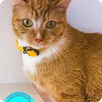 Domestic Shorthair Cat for adoption in Staten Island, New York - Leo