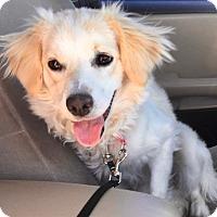 Adopt A Pet :: Carol - Las Vegas, NV