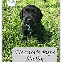 Adopt A Pet :: Shelby - Plainfield, IL