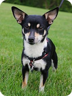 Pembroke Welsh Corgi/Chihuahua Mix Dog for adoption in Chester Springs, Pennsylvania - Buster