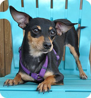 Miniature Pinscher/Chihuahua Mix Dog for adoption in Allentown, Pennsylvania - Tia