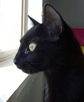 Domestic Shorthair Cat for adoption in Hawk Point, Missouri - Mistique