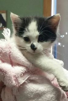 Domestic Mediumhair/Domestic Shorthair Mix Cat for adoption in Clinton, Missouri - Lucille
