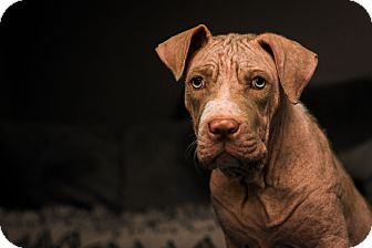 American Pit Bull Terrier Puppy for adoption in Irving, Texas - Winnie