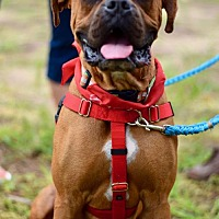 Boxer/Boxer Mix Dog for adoption in Canton, Connecticut - Diesel