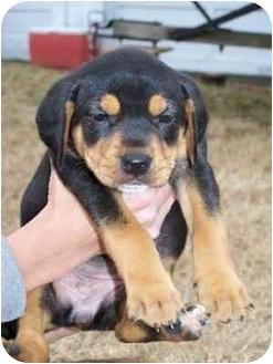 Rottweiler/Labrador Retriever Mix Puppy for adoption in Franklin, Virginia - Kynzie