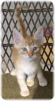 Domestic Shorthair Kitten for adoption in Naples, Florida - Tamarind