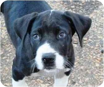Great Dane Mix Puppy for adoption in McDonough, Georgia - Zeus