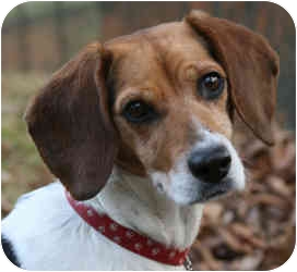 Beagle Dog for adoption in Buffalo, New York - Susie: 20 # of love.