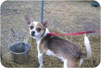 Chihuahua Mix Dog for adoption in Fair Oaks Ranch, Texas - Joker