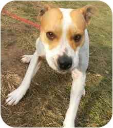 American Pit Bull Terrier Mix Dog for adoption in Kansas City, Missouri - Courtesy List-Amelia {Urgent}