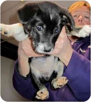 Boston Terrier/Border Collie Mix Puppy for adoption in Bel Air, Maryland - Kisses
