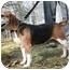 Photo 1 - Beagle Dog for adoption in Waldorf, Maryland - Bristol