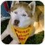 Photo 4 - Husky Dog for adoption in Los Angeles, California - Comet purebred @shelter VIDEO!