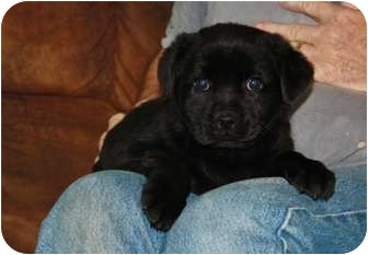Pug/Jack Russell Terrier Mix Puppy for adoption in Glastonbury, Connecticut - Annie