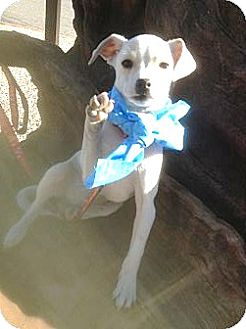 Beagle/Jack Russell Terrier Mix Puppy for adoption in Santee, California - Max