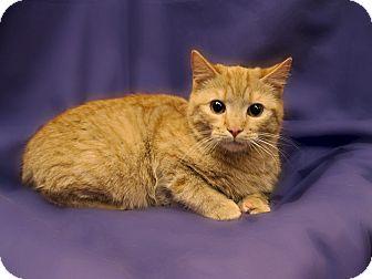Domestic Shorthair Kitten for adoption in Richmond, Virginia - Chance