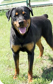 Rottweiler Mix Dog for adoption in Pilot Point, Texas - HANNAH