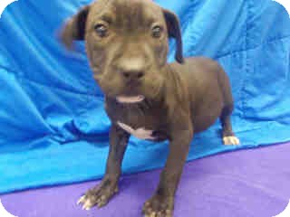 American Pit Bull Terrier Mix Puppy for adoption in Antioch, Illinois - Shaunna ADOPTED!!