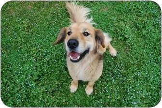 Golden Retriever/Shepherd (Unknown Type) Mix Dog for adoption in Brattleboro, Vermont - Joey