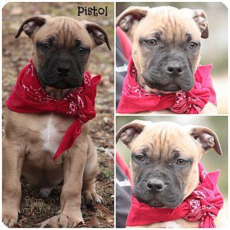 Pit Bull Terrier/Mastiff Mix Puppy for adoption in Glastonbury, Connecticut - Pistol
