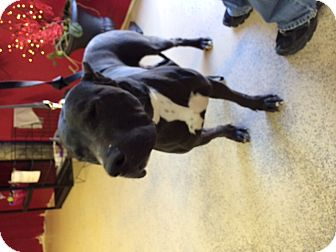 Presa Canario Dog for adoption in Pahrump, Nevada - Ralph