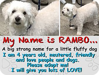 Maltese/Miniature Poodle Mix Dog for adoption in East Hanover, New Jersey - RAMBO