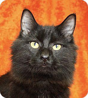 Domestic Longhair Cat for adoption in Jackson, Michigan - Jasper