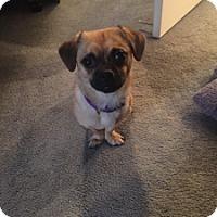 Adopt A Pet :: Maple - Strasburg, CO
