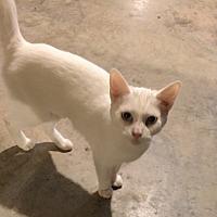 Adopt A Pet :: Pearl - Morganton, NC