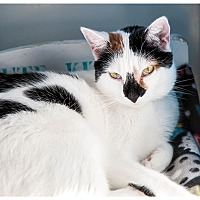 Domestic Shorthair Cat for adoption in Middletown, New York - Avery