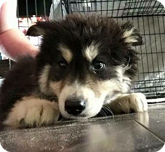 Husky Mix Puppy for adoption in Jacksonville, North Carolina - Cole
