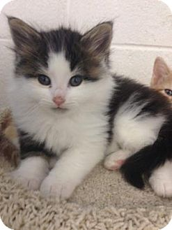 Domestic Mediumhair Kitten for adoption in Hendersonville, North Carolina - Mario