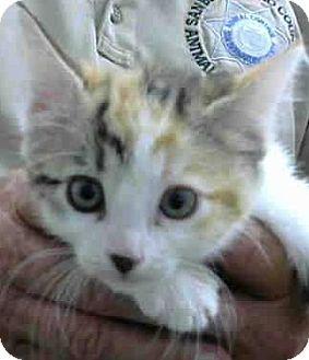 Calico Kitten for adoption in Riverside, California - Pallister