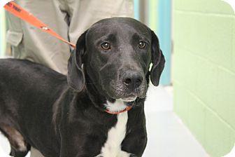 Labrador Retriever Mix Dog for adoption in Odessa, Texas - A10 SPENCER
