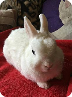 Netherland Dwarf Mix for adoption in Waynesboro, Virginia - Buttercup