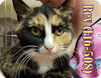 American Shorthair Cat for adoption in Tiffin, Ohio - Rey
