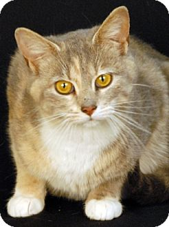 Domestic Shorthair Cat for adoption in Newland, North Carolina - Easter Lilly