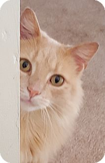 Domestic Longhair Cat for adoption in Hilliard, Ohio - Leynah