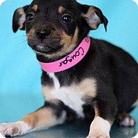 Adopt A Pet :: Cougar - Waldorf, MD