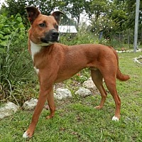 Adopt A Pet :: Bronx-Dog Days of Summer - Tyler, TX