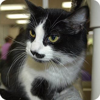Domestic Mediumhair Cat for adoption in Wheaton, Illinois - Daisy