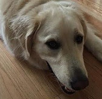Golden Retriever/Great Pyrenees Mix Dog for adoption in Silver Spring, Maryland - Caboose