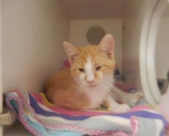 Domestic Shorthair/Domestic Shorthair Mix Cat for adoption in Erie, Pennsylvania - 9789 Sum