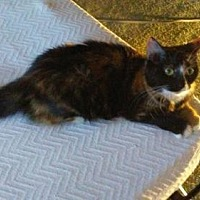 Calico Cat for adoption in Brooklyn, New York - 'Sweet Mama' Silke