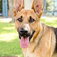 German Shepherd Dog Dog for adoption in Marina del Rey, California - Monty