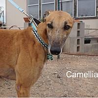 Adopt A Pet :: Camellia - Tucson, AZ
