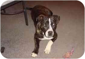 American Staffordshire Terrier Mix Dog for adoption in Winston Salem, North Carolina - Hooch